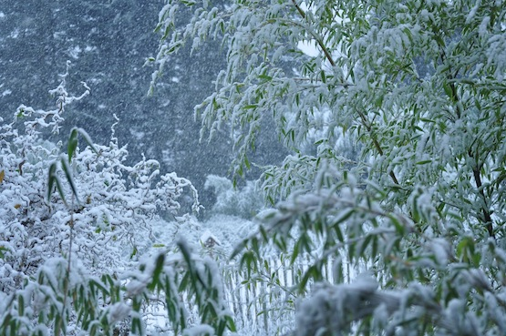 Wild Gardening | Gartenblog | Bambus im Schnee