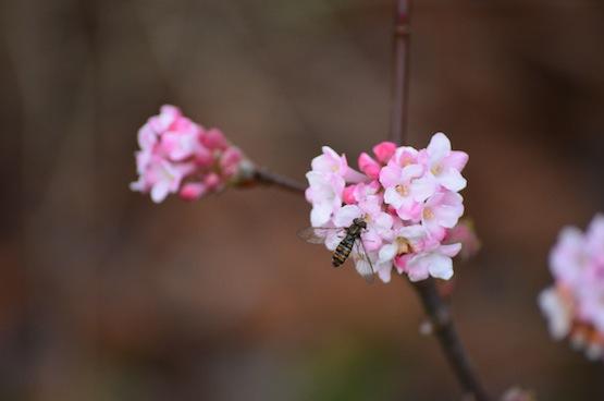 Wild Gardening | Gartenblog | Viburnum bodnantense 'Dawn'