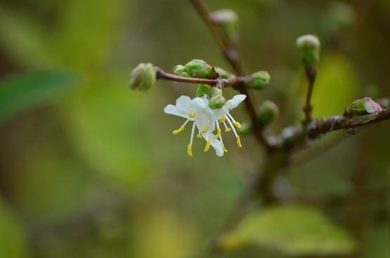 Wild Gardening | Gartenblog | Lonicera purpusii