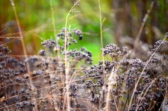 Wild Gardening | Gartenblog | Origanum vulgare, Sporobolus heterolepsis