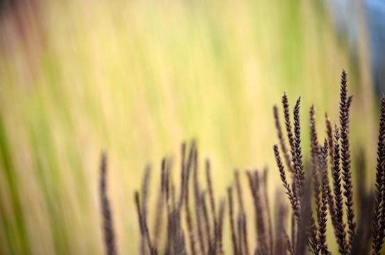 Wild Gardening | Gartenblog | Verbena hastata