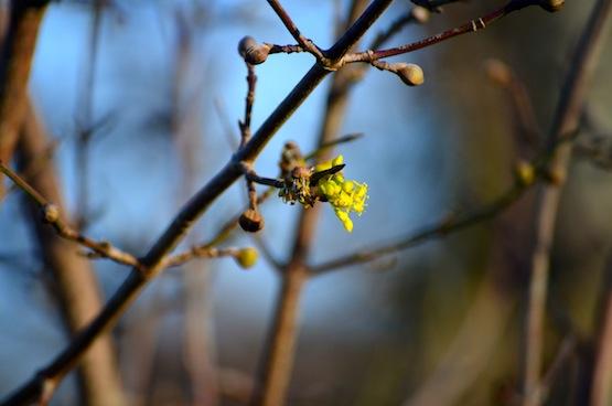 Wild Gardening | Gartenblog | Cornus mas