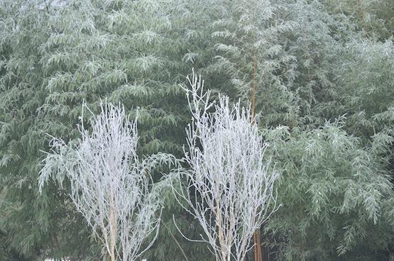 Wild Gardening | Gartenblog | Birken vor Bambushain