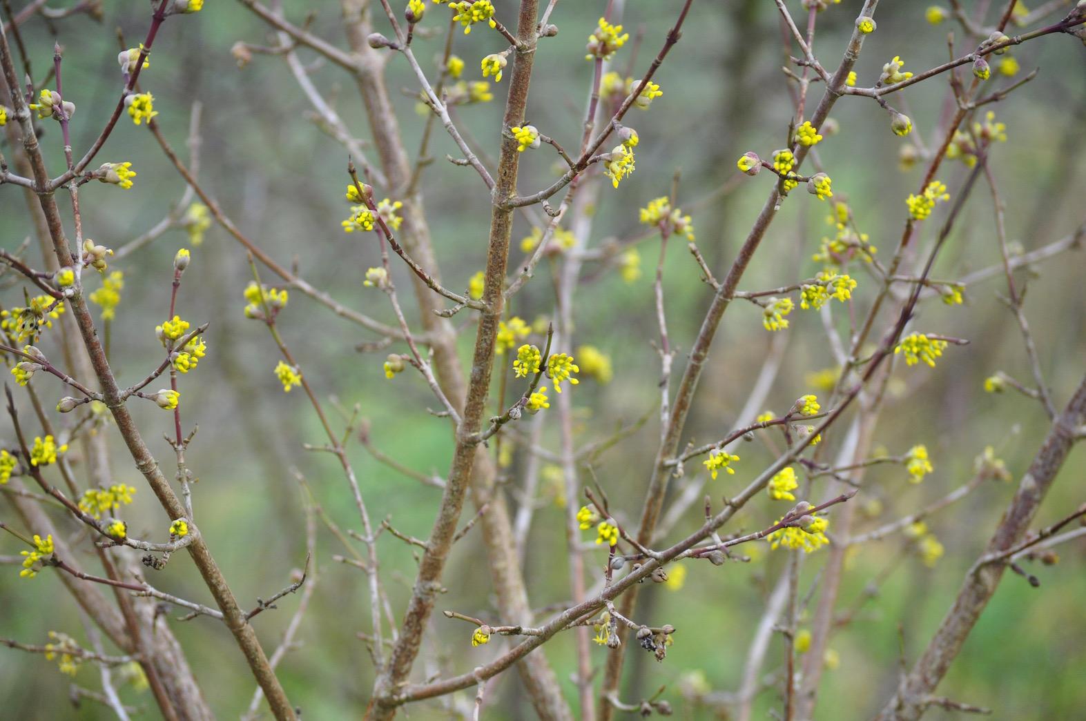 Wild Gardening | Gartenblog | ein Garten in der Heide | Cornus mas