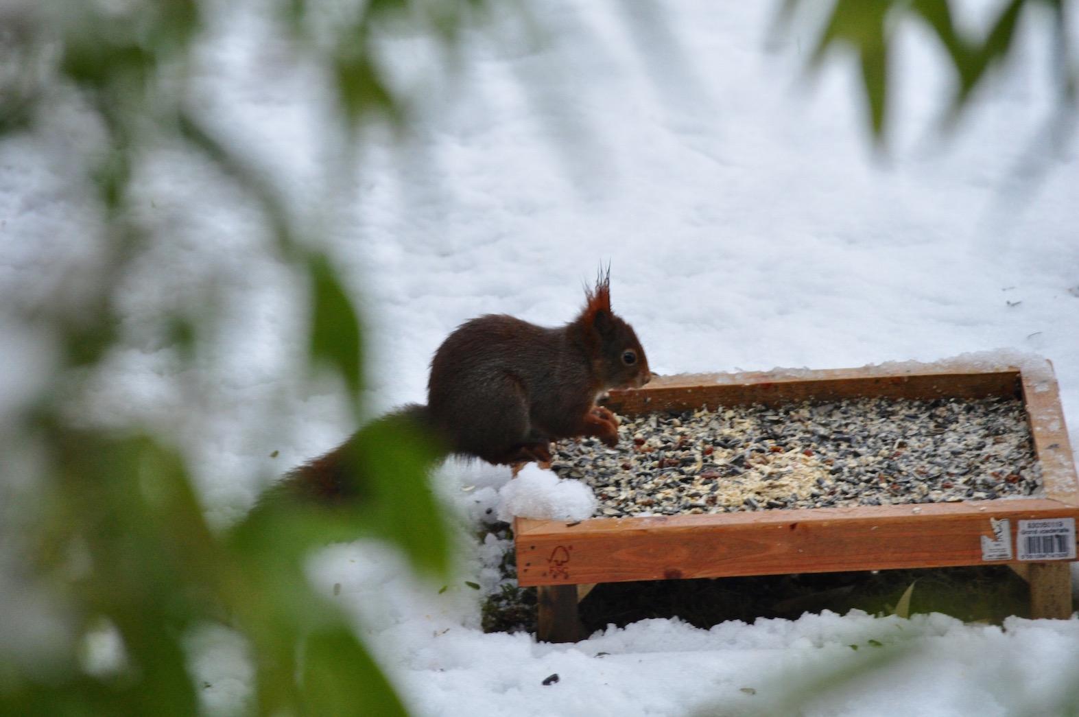 Wild Gardening | Gartenblog | ein Garten in der Heide | Eichhörnchen