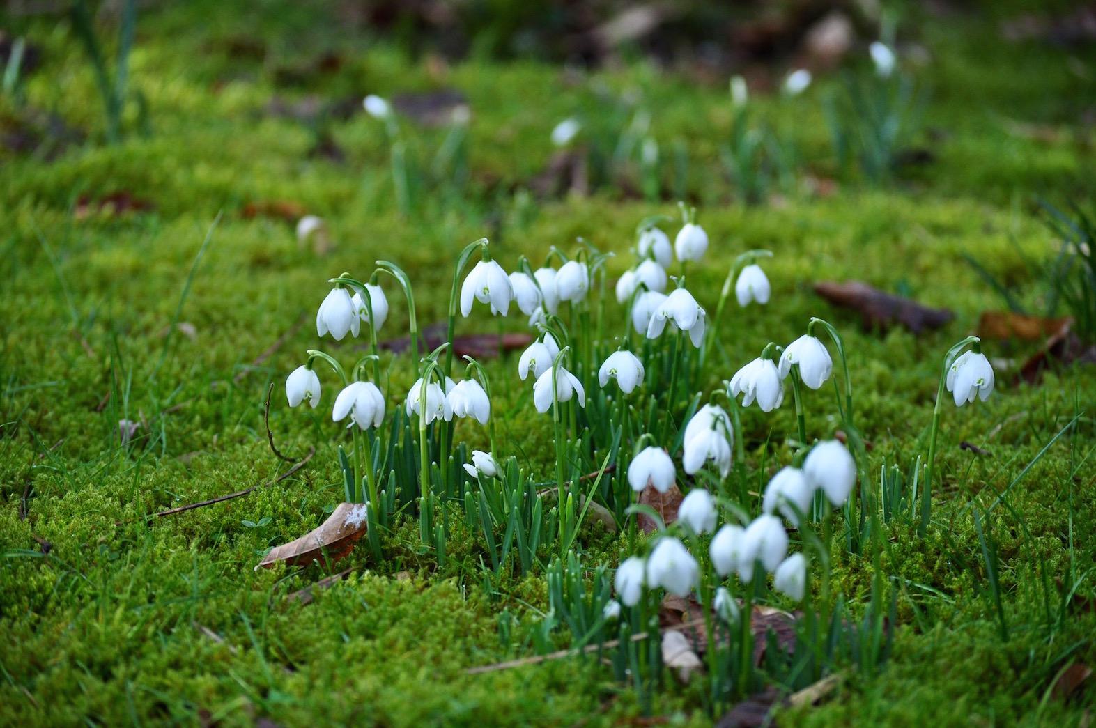 Wild Gardening | Gartenblog | ein Garten in der Heide | Galanthus nivalis 'Flore Pleno'