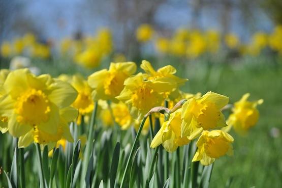 Wild Gardening Gartenblog Narcissus 'Carlton'