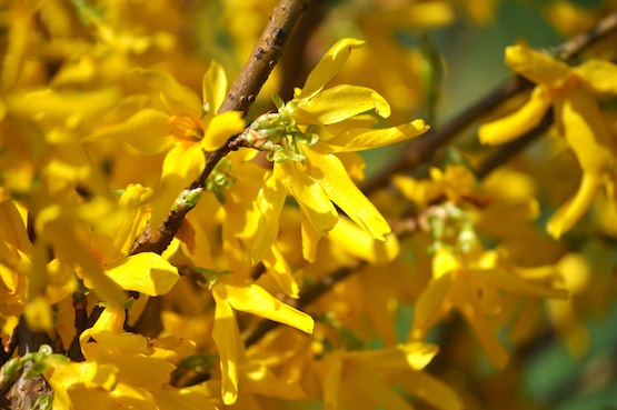 Wild Gardeing | Gartenblog Blüte von Forsythia x intermedia 'Lynwood'