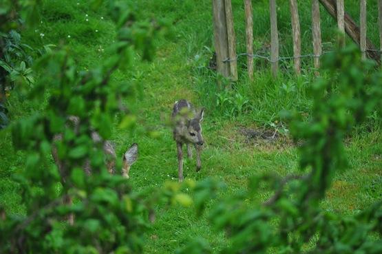 Wild Gardening | Gartenblog | Rehe Rundgang
