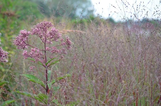 Wild Gardening | Gartenblog | Nov 17 | Hummelo Wasserdost